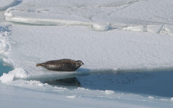 Caspian seal on ice flow